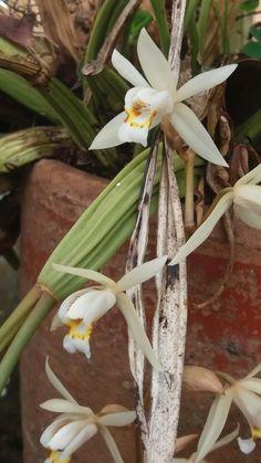 Orquídea...Branca...cheirosa...casa