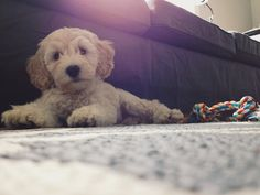 Lily the Australian Labradoodle.