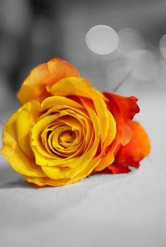 Ecuadorian Bi-Colored Rose