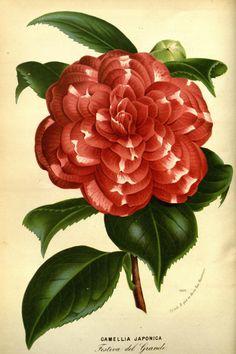 v.20 (1874) - Flore des serres et des jardins de l'Europe - Biodiversity Heritage Library