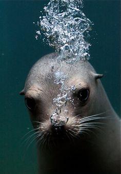 Seal close up