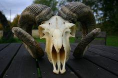 goat skull by ~borderline-stock on deviantART