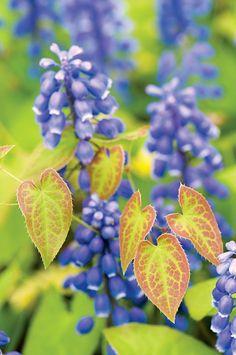 Chanticleer garden Muscari armeniacum blooms alongside the young spring growth of Epimedium x versicolor 'Sulphureum,' setting off the latter's heart-shape bicolor leaves against the muted purple of the grape hyacinths.