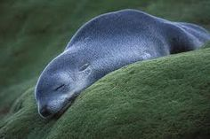 Lazy baby seal, Macquarie Island