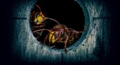 Intezer has discovered a new, sophisticated malware named HiddenWasp, targeting Linux systems. Unlike common Linux malware, HiddenWasp is not focused on crypto-mining or DDoS activity, but rather it is a trojan purely used for targeted remote control. Bees And Wasps, Termite Pest Control, Wasp Stings, Bee Removal, Linux, Horror, News, Operating System