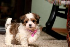 Teddy Bear, Puppies, For, Sale, In, Raleigh, North