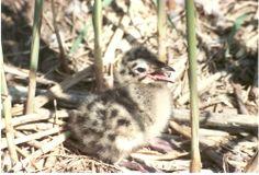 """Vogelkunde: """"...sie sehen aus, als ob sie Emma hießen"""" (Foto Jürgensen ) : Lachmöwennachwuchs auf der Möweninsel im Sibbersdorfer See bei Eutin"""