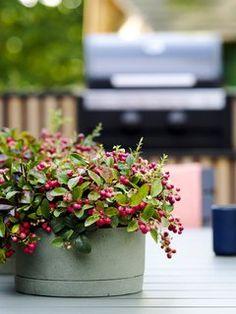 Der Herbst hat viele Seiten. Das zeigt sich auch in der Pflanzenwelt. Der Wechsel der Jahreszeiten ist die Zeit, in der viele wunderschöne Pflanzen zu leuchten beginnen. Ob wir nach Pflanzen suchen, um unseren Eingangsbereich zu verschönern, einen herbstlichen Kranz zu gestalten oder den Garten mit Farbe zu füllen – die Auswahl ist riesig. Wir präsentieren hier eine Auswahl typischer Herbstpflanzen, die wir in der kommenden Saison in vollen Zügen genießen können! Heuchera