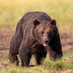 Animal WildlifeOutdoorsBearAnimalPhotographyBrown Bear Brown Bear, Bears, Animals, Loom Animals, Animales, Animaux, Animal, Animais, Bear