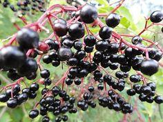 (2012-03) Hyld Elderflower, Fruit, Shrubs, Elder Flower