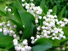 planting dates lily of the valley zone 6 - Google Search
