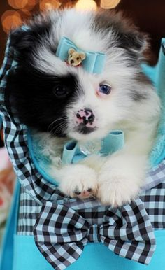 Rare Blue Merle Pomeranian WITH BLUE EYES! Call 954-353-7864 or visit www.teacuppuppiesstore.com to bring this baby home TODAY!  #pomeranian #pom #fluffy #love #puppy #puppylove #wolf #bluemerle #blueeyes #teacup #pocketbook #teacuppuppy #baby #adorable #cute #rare #boo #pomsky #teddybearface #teddybear #dog #small #micro #tiny #tinypuppy #gorgeous #stunning