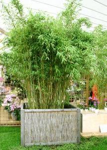 bambus als sichtschutz im garten oder auf dem balkon | garten, Best garten ideen