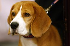 beagle uno westminster | 2008 Top Dog: Uno the Beagle | Westminster Dog Show Winners: Where Are ...