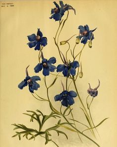 Delphinium grandiflorum, a much smaller growing Delphinium than most (1840).