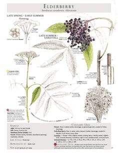 Elderberry identification pagefrom our Foraging & Feasting: A Field Guide and Wild Food Cookbook byDina Falconi; illustrated by Wendy Hollender. Book link:http://bit.ly/1Auh44Q