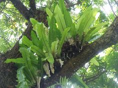 A Asplenium nidus L. é uma espécie de samambaia herbácea pertencente a família botânica Aspleniaceae originária da Ásia, que no Brasil ...
