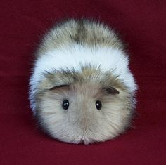 If I shaved the guinea pig I used to have she would look just like this :) ♥