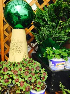 So many shamrocks, and a few ferns too! Create a St. Patty's Day tablescape or green up a windowsill. Come May, tuck them into a shade planter for texture.  You don't need luck to keep oxalis looking good. Just allow soil to dry slightly between waterings and feed monthly with an all-purpose fertilizer spring to fall. You can keep oxalis bulbs year to year, but cut them a few months' slack. Reduce watering when they start dieing back naturally, then begin again when they sprout anew.