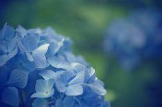 [フリー画像] 花・植物, 紫陽花・アジサイ, 青色の花, 201107281700