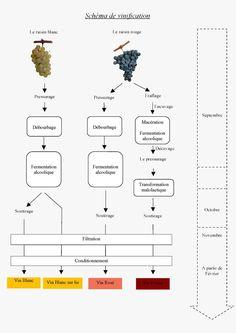 Schéma de vinification des vins blancs et rouges