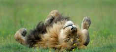 Lion Rolling in the Grass Photo of the Day: September Photo and caption by Dale Morris (South Africa); Photographed March Botswana Read more:. Baby Animals, Funny Animals, Cute Animals, Wild Animals, Animal Memes, Lion Love, Cat Love, Amazing Animals, Animals Beautiful