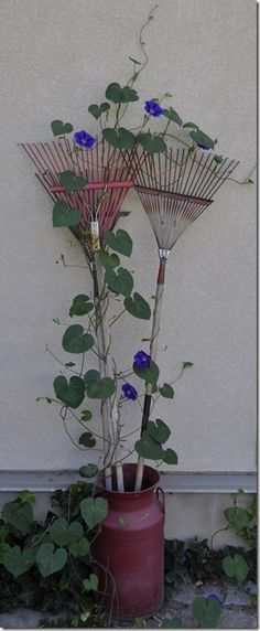 Morning glories climbing old rakes in vintage milk jug