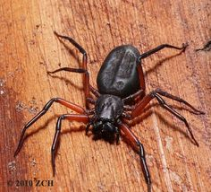 Scorpion spiders or Platyoides are found in Sub-Saharan Africa and in Madagascar, Reunion, Aldabra and Canary Islands and all parts of Afric...