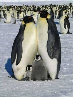 Cute family of penguins Penguin Love, Cute Penguins, Happy Penguin, Funny Penguin, Penguin Parade, Penguin Craft, Nature Animals, Animals And Pets, Wild Animals