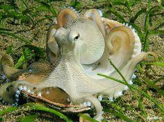 The Ballerina, Veined octopus (Octopus marginatus), Anilao, Philippines Seahorse Aquarium, Seahorse Tank, Marine Aquarium, Aquarium Fish, Underwater Creatures, Underwater Life, Ocean Creatures, Octopus Squid, Octopus Art