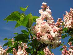 Liliac Krasavitsa Moskvy Plants, Google, Beautiful Flowers, Bonito, Plant, Planets