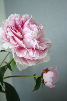 I like this angle - Growing Peonies - How to Plant & Care for Peony Flowers Pink Flowers, Beautiful Flowers, Exotic Flowers, Yellow Roses, Pink Roses, Fresh Flowers, Plant Tattoo, Peonies Tattoo, Peony Flower