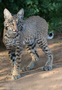 Bobcat by Melody Lytle Small Wild Cats, Big Cats, I Love Cats, Caracal Cat, Serval Cats, Siamese Cats, Pretty Cats, Beautiful Cats, Animals Beautiful