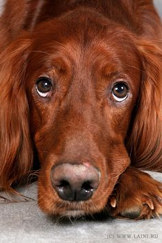 """1) Cute redhead   -Irish Setter - Reminds me of """"Old Red"""" my childhood neighborhood doggy, I miss you Red!! :)"""