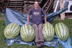 Extreme gardener Chris Kent, photographed by Dennis Masterson, shows some giant specimens from his watermelon patch in Sevier County. A 291-pound watermelon grown by Kent in 2010 was a world record at the time as certified by the growers' governing body, the Great Pumpkin Commonwealth. He also is the reigning champ at the Great Pumpkin Festival and Weight-Off in Allardt, Tenn., with a pumpkin that tipped the scales at 1,058.9 pounds. (Dennis Masterson/Special to the News Sentinel)