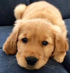 "62.4k Likes, 338 Comments - Golden Retrievers (@retrieverpuppies) on Instagram: ""Puppy eyes @lifeoflouisthegolden"" #goldenretriever"