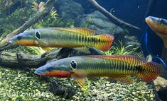 pike cichlid - Google Search