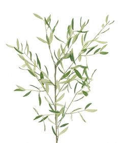 olive branches greenery - Google Search