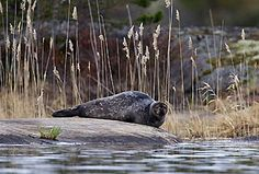 Saimaa Ringed Seal #saimaannorppa, Savonlinna, Finland. Picture: Ilpo Aalto Green Nature, Lake District, Finland, National Parks, City, Water, Southern, Pictures, Houses