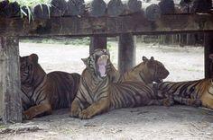 Yawning tiger at Safari World, Bangkok, Thailand  (Photo by El Gosiengfiao)