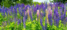 Lupines-in-Somesville-1a