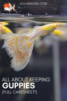 The ever-popular guppy is truly an aquarium classic. But what do these colorful fish need to thrive? Everything about setting up your own guppy tank. Aquarium Set, Tropical Fish Aquarium, Tropical Fish Tanks, Saltwater Aquarium, Aquarium Fish Tank, Aquarium Ideas, Aquarium Design, Aquarium Snails, Aquarium Stand