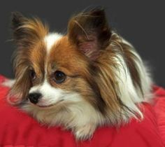 Not as pretty as my Ivey but still a cutie Papillon