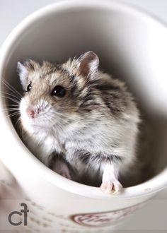 dwarf hamster.....this looks like my pumpkin......
