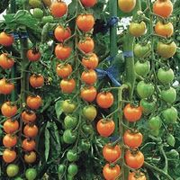 1:9 urine to water ratio- nitrogen rich (tomatoes). Sit covered for 2 weeks to kill any pathogens.