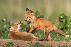Red Fox Kits Playing Wildlife Photography Nature by RobsWildlife