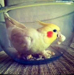 Going for the popcorn! My bird used to do that. I miss him. So adorable!!