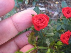 The micro- miniature Si, whose blooms are smaller than a dime.  Red Minimo microminiature rose by fuzzyjay, via Flickr