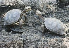 Baby giant tortoises acting tough 2. Santa Cruz, Galapagos Islands, Ecuador. Calm Cradle Photo & Design