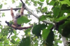 The Orangutan Land Trust objective is to provide permanent solutions for the long-term survival of the orangutan in the wild by ensuring safe areas of land for their continued existence. http://www.forests4orangutans.org